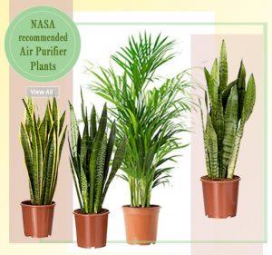 Air Purifier Plants -Shop Plants Online Noida Delhi