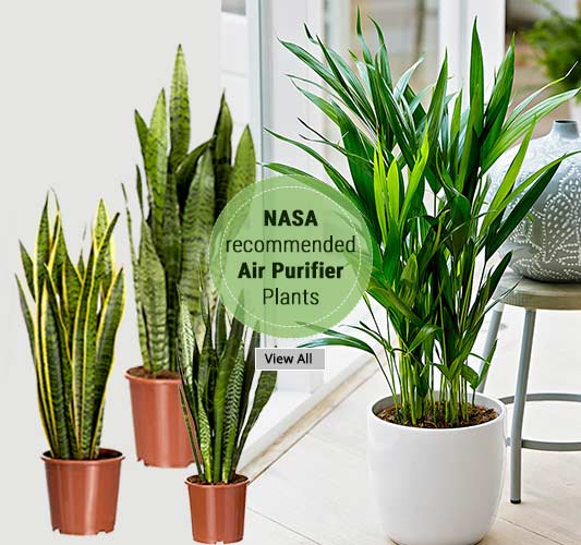 Shop Best Air Purifying Plants Online Gurgaon Delhi Noida