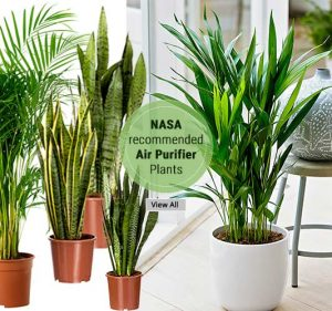 Air Purifier Plants -Shop Plants Online Noida Delhi NCR