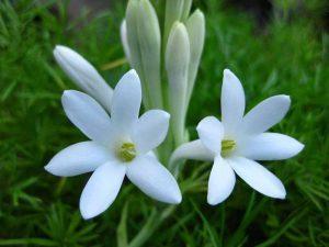 Aromatic Flowers - Online Wholesale Nursery India