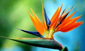 Bird-Of-Paradise-Online Wholesale Nursery