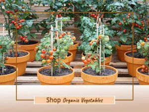 Buy Vegetable Plants - Mashrita Nature Cloud