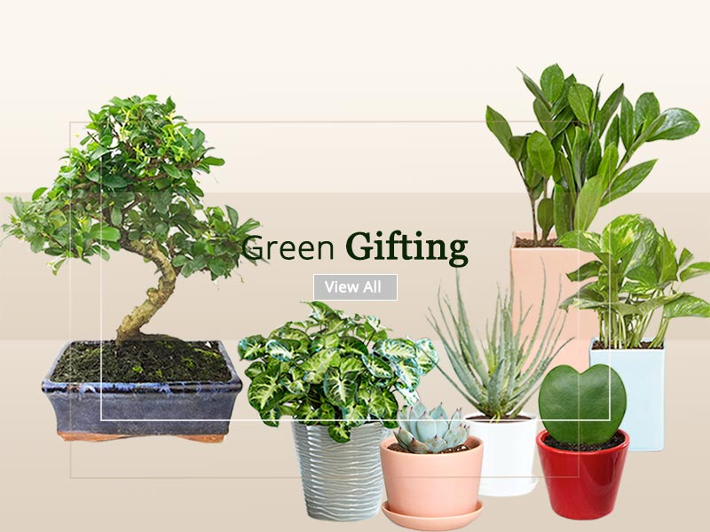 Corporate Gift Plants Online Nursery Delhi Ncr Mncgifting