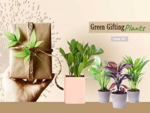Corporate Gift Plants - Online Nursery Plants Noida Gurgaon