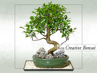 Creative Bonsai Online Store India ©MNC