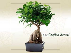 Grafted Bonsai Online Store India ©MNC