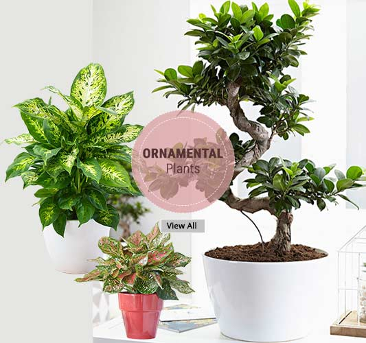 Ornamental Plants - Wholesale Garden Nursery Gurgaon