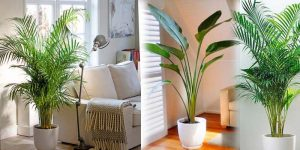 Palm Plants - Online Wholesale Nursery India