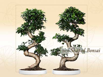 Shaped Bonsai Online Store India ©MNC