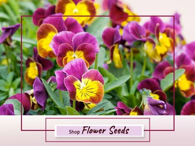 Shop Imported Flower Seeds online Delhi