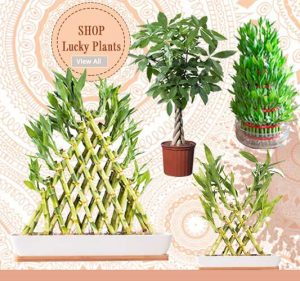 Shop Lucky Plants - Online Garden Nursery Plants