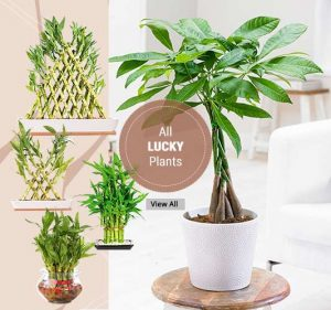 Shop Lucky Plants - Online Garden Nursery Plants India