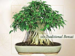 Traditional Bonsai Online Store India ©MNC
