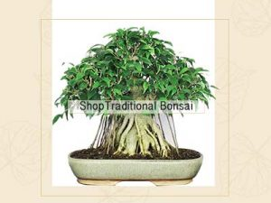 Traditional Bonsai Plants Online Store India ©MNC