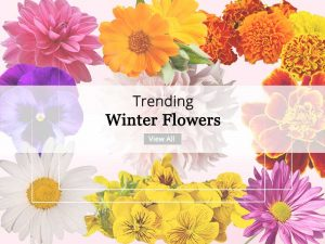 Winter Flower Plants - Wholesale Garden Nursery Gurgaon ©MNC