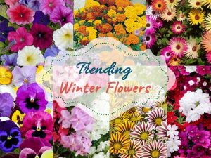 Winter Flower Plants - Wholesale Garden Nursery Gurgaon