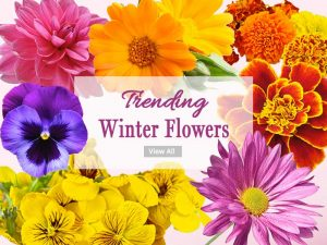 Winter Flower Plants - Wholesale Garden Nursery Gurgaon Noida
