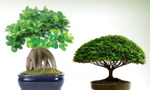 Bonsai - Wholesale Nursery
