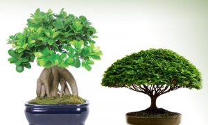 Bonsai Plants - Online Wholesale Nursery