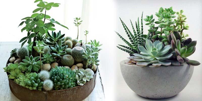 Cactus Succulents Plants