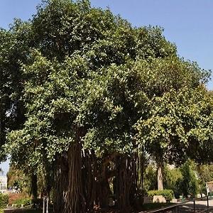 Banyan-Ficus-Benghalensis-Mashrita-Nature-Cloud