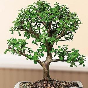 Jade-Plant-Mashrita Nature Cloud