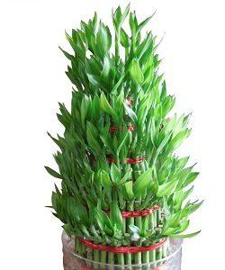 Lucky-Bamboo-Mashrita Nature Could