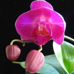 Orchid -Mashrita Nature Cloud
