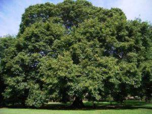 Pakad-Ficus-Virens-Mashrita Nature Cloud