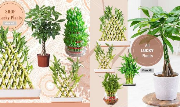 Shop-Lucky-Plants-Online-Garden-Nursery-Plants-India