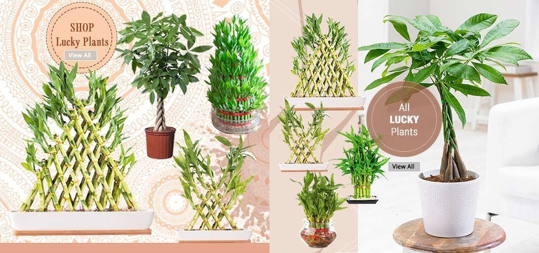 Lucky Plants Online Garden Nursery India