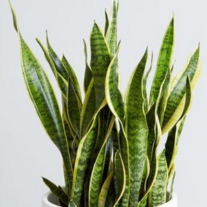 Snake-Plant-Mashrita Nature Cloud