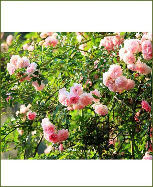 ©MNC-Climbing-Rose-Plant