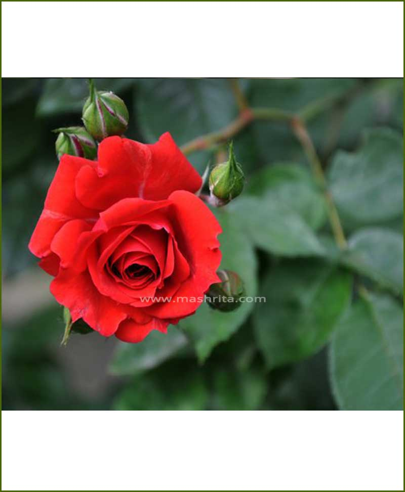 ©MNC-Red-Rose-Plant