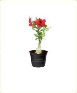 Adenium-Obesum-Desert-Rose-Small_Mashrita_Nature_Cloud