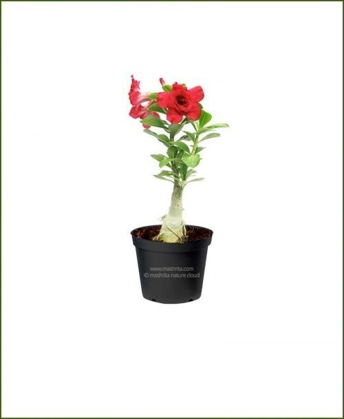 Adenium-Obesum-Desert-Rose-Small_Mashrita_Nature_Cloud