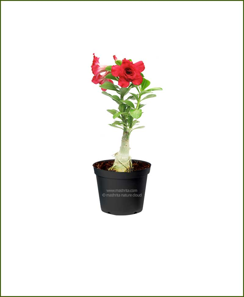 Adenium Plants - Landscaping Garden Office Plants Nursery India