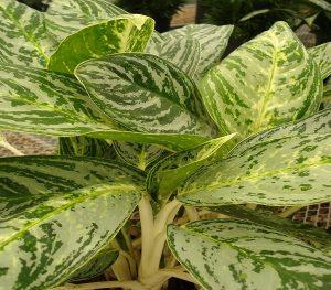 buy aglaonema brilliant plant online - mashrita.com