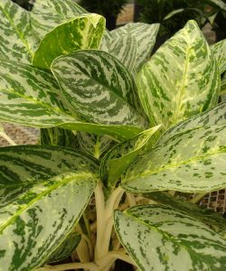Aglaonema Brilliant