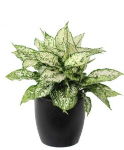 Aglaonema Brilliant Updated -Mashrita Nature Cloud