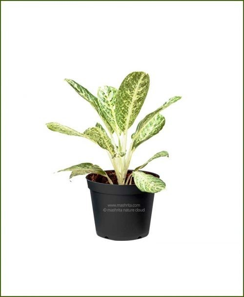Aglaonema-Brilliant_Mashrita_Nature_Cloud