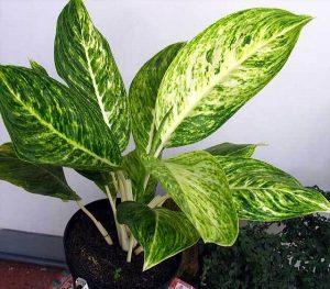 buy aglaonema butterfly plant online - mashrita.com