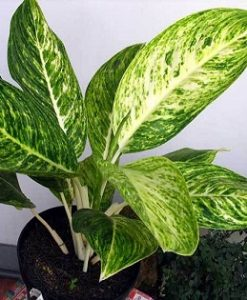 Aglaonema Butterfly Updated -Mashrita Nature Cloud