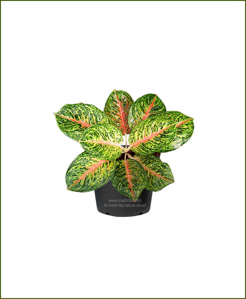 Aglaonema Butterfly_Mashrita_Nature_Cloud