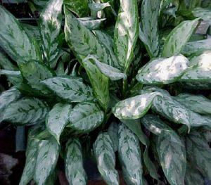 buy aglaonema commutatum malay beauty plant online - mashrita.com