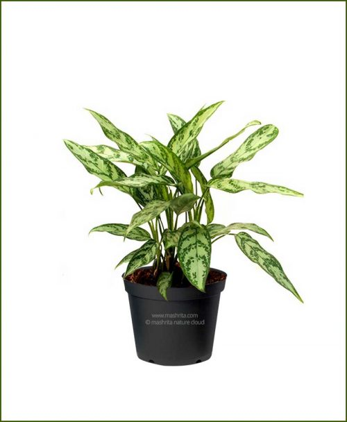 Aglaonema-Commutatum-Malay-Beauty