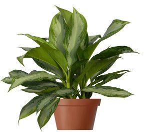 buy aglaonema commutatum silver queen plant online - mashrita.com