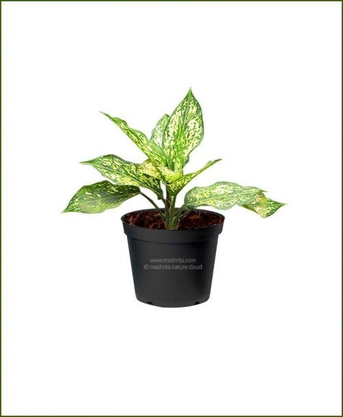 Aglaonema-Costatum_Mashrita_Nature_Cloud