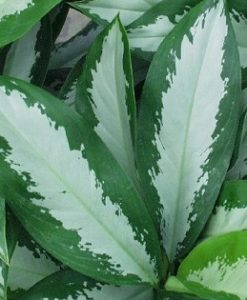 Aglaonema Diamond Bay Updated -Mashrita Nature Cloud