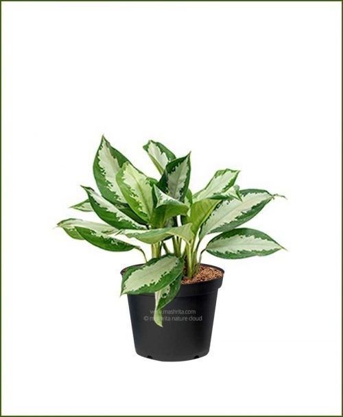 Aglaonema-Diamond-Bay_Mashrita_Nature_Cloud